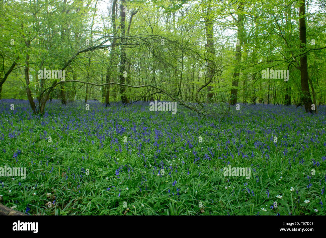Spring bluebells (hyacinthoid) carpet the woodland floor - Stock Image
