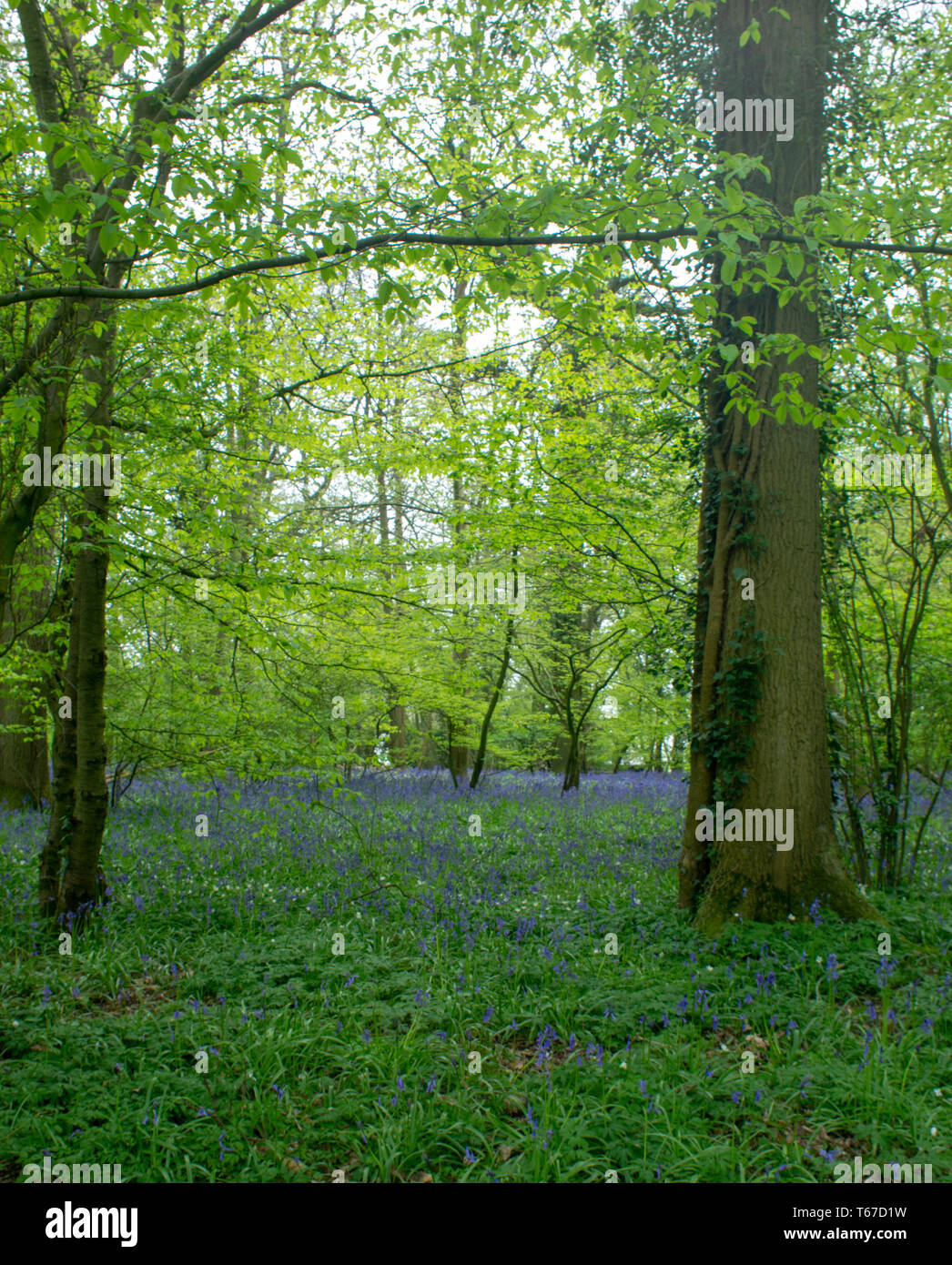 Two tall trees frame a carpet of spring bluebells - Stock Image