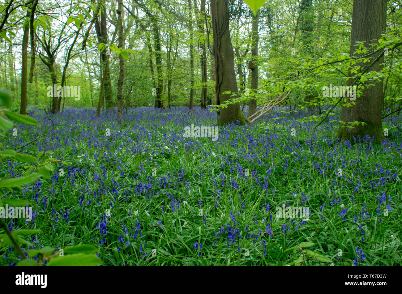 Bluebells (hyacinyhoid) float like a carpet over the woodland floor - Stock Image