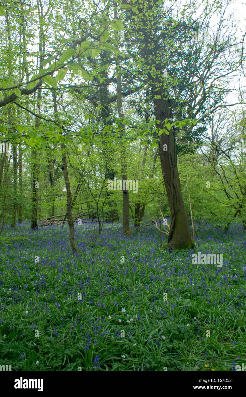 Spring bluebells surround the roots of woodland trees - Stock Image