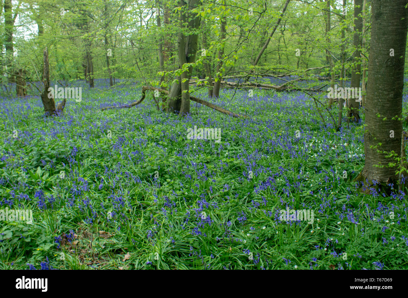 Bluebells form a blue carpet around the woodland trees - Stock Image
