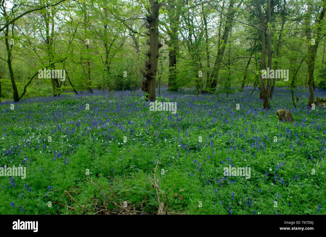 Bluebells carpet the floor of mature woodland - Stock Image