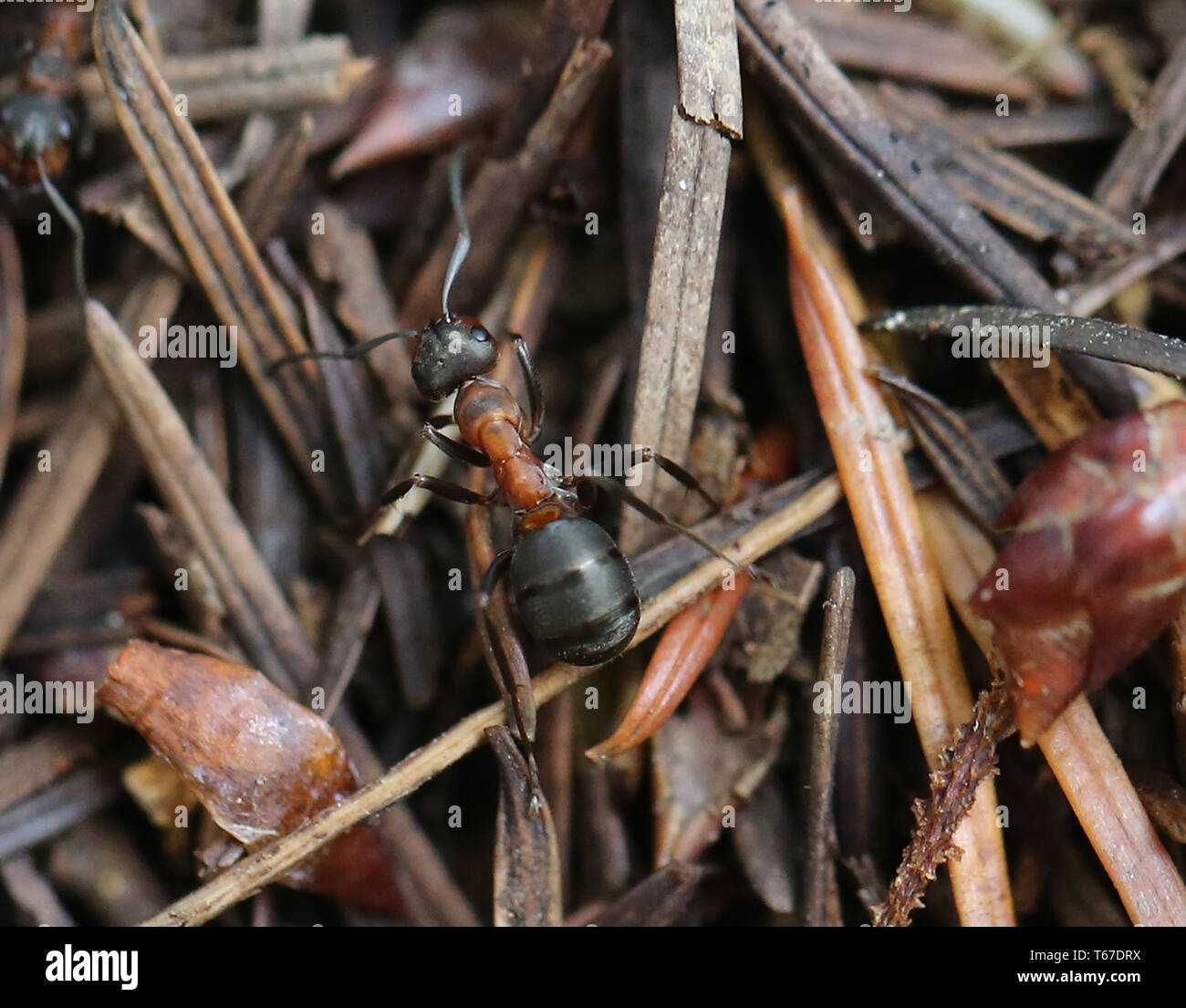 Horse ant or Red Wood Ant, Formica rufa, Germany - Stock Image