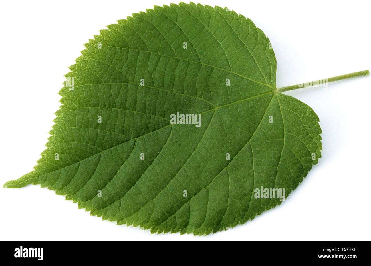 Largeleaf linden or broad leaved lime, Tilia platyphyllos Stock Photo
