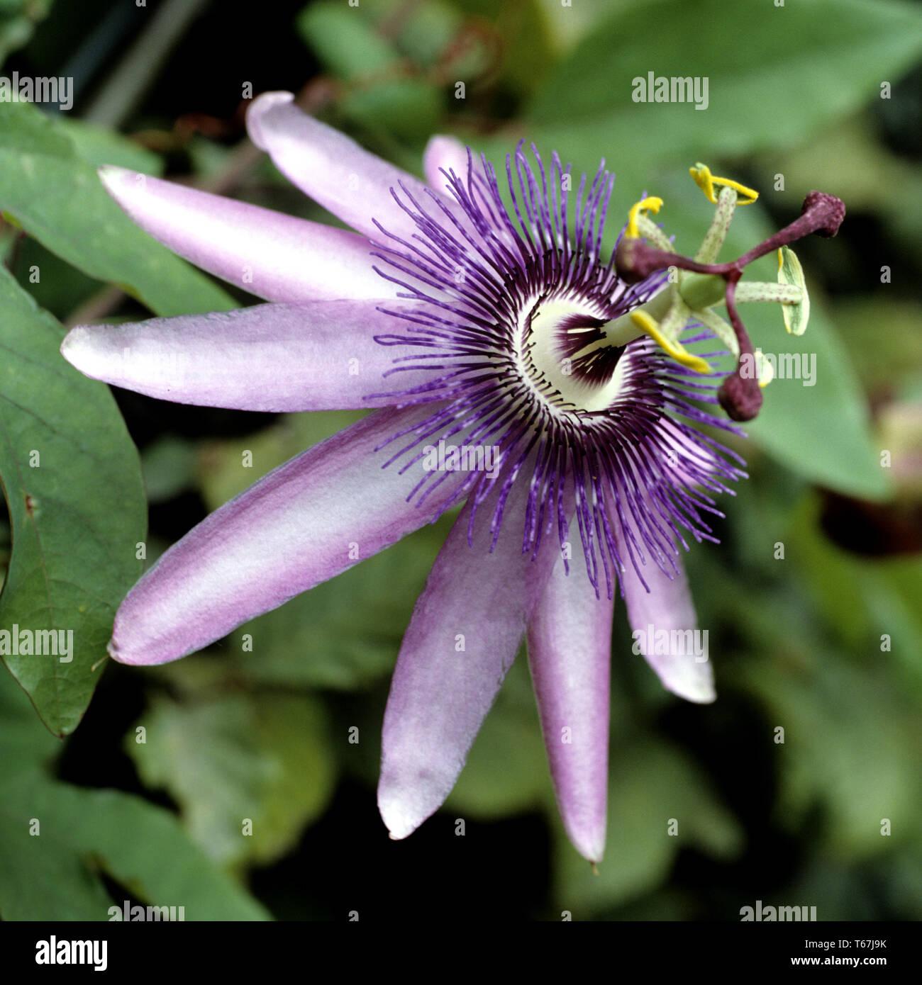 violet passion flower (Passiflora Violacea) Stock Photo