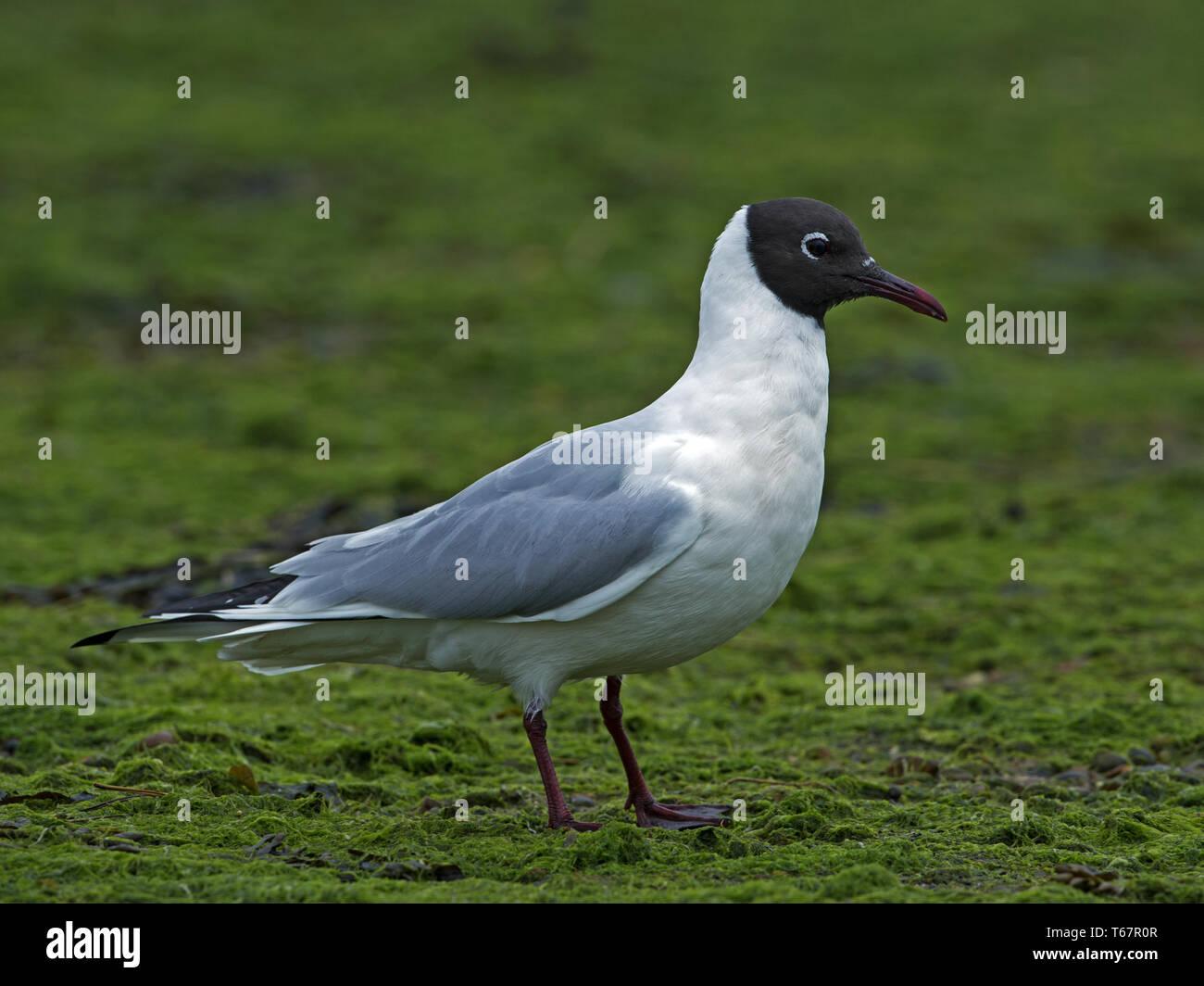 Black-headed gull in breeding plumage standing Stock Photo