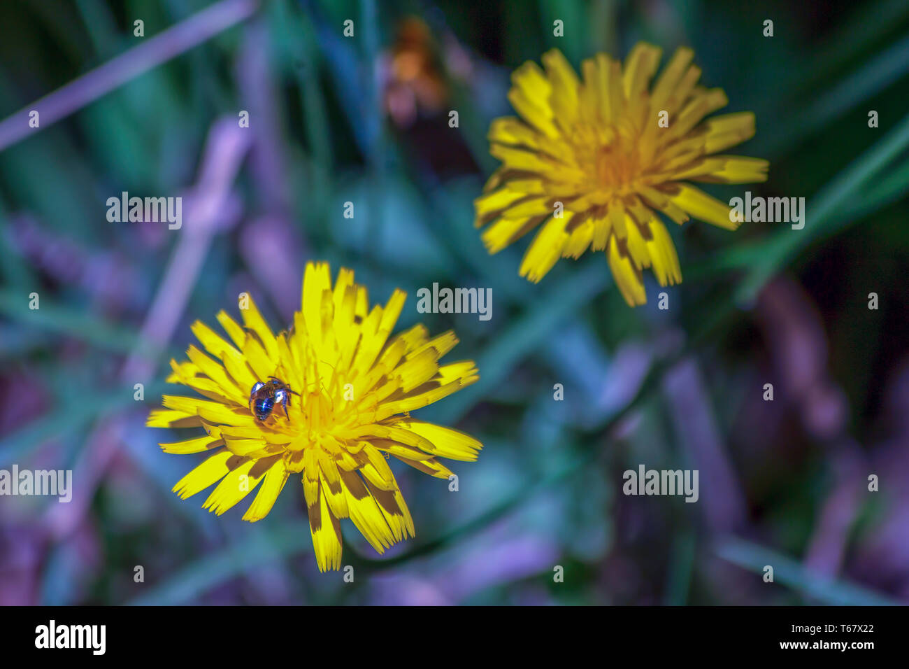 Close-up photography of a Cuckoo wasp feeding on a dandelion flower at the central mountains of the Colombian Andes. - Stock Image