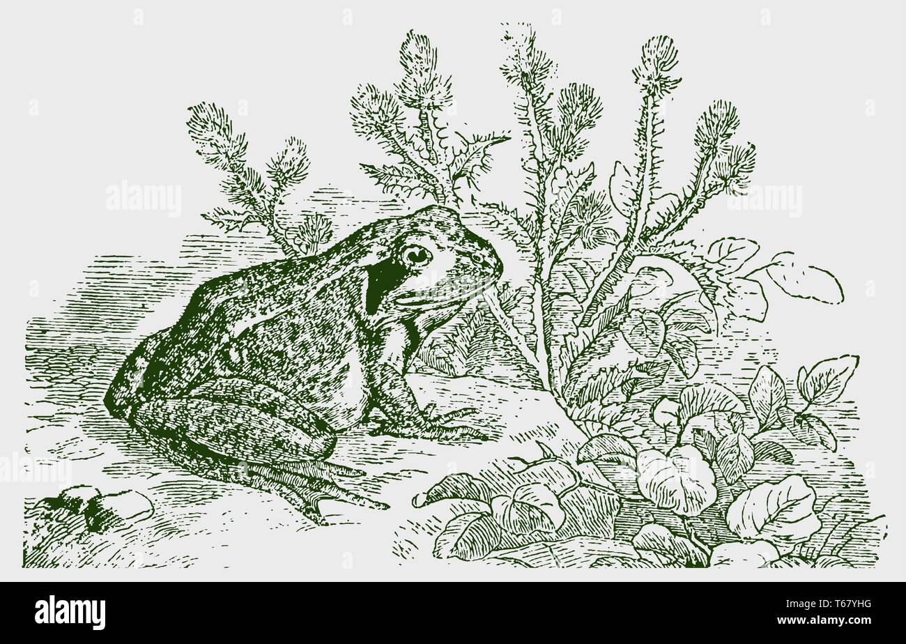 Common frog (rana temporaria) sitting in front of a thistle plant. Illustration after a historic engraving from the 19th century. Editable in layers - Stock Image