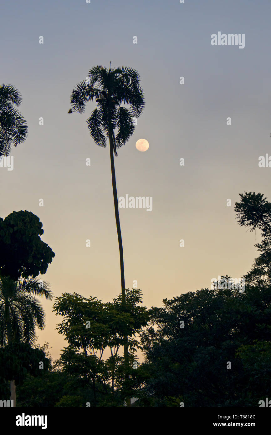 The full moon and the silhouette of a palm tree and a flying bird, captured at the Andean mountains of sothern Colombia. - Stock Image