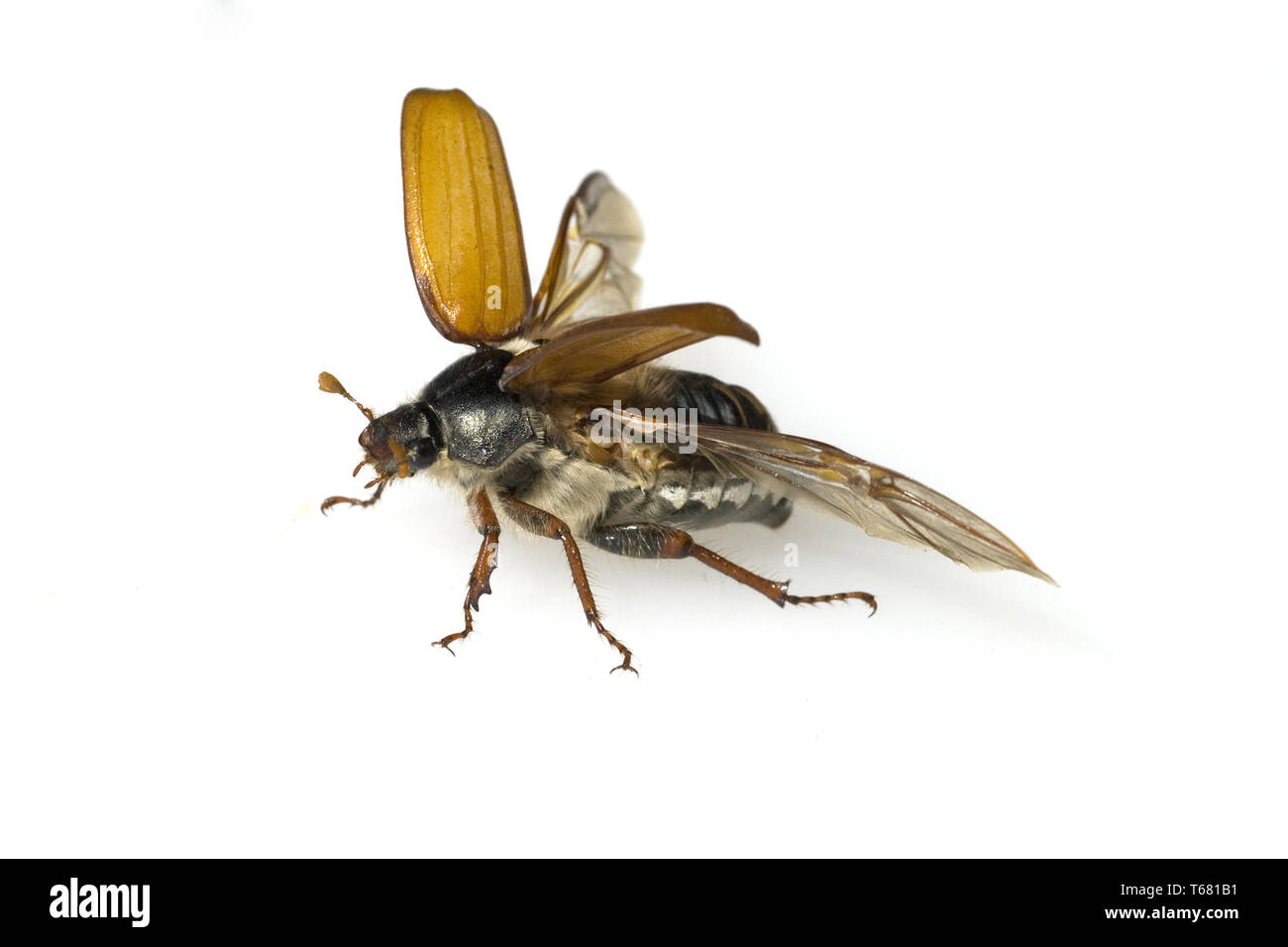 Cockchafer, Melolontha melolontha - Stock Image