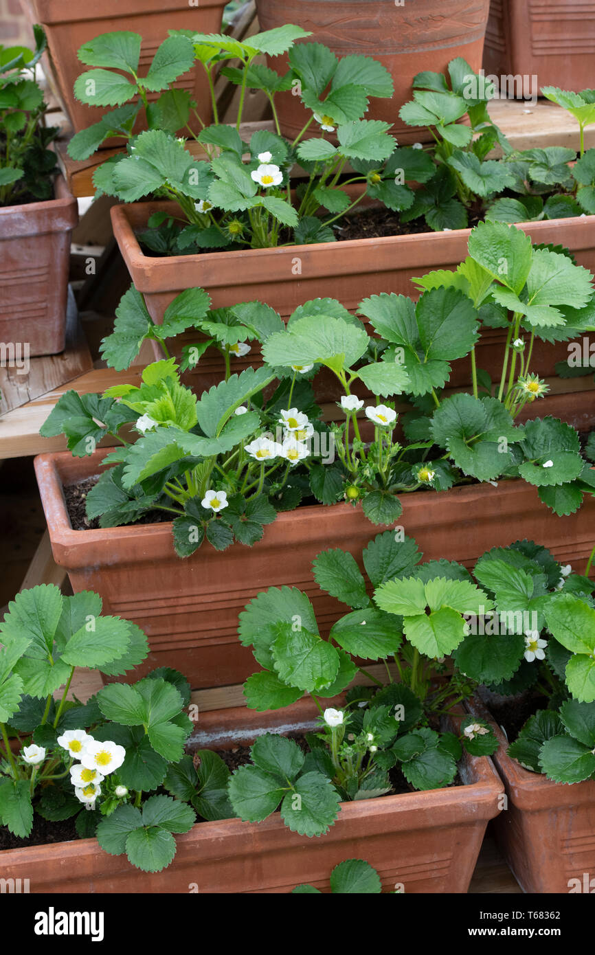 Fragaria × ananassa, Flowering Portola Strawberry and Romina Strawberry plants in plant pots in spring Stock Photo