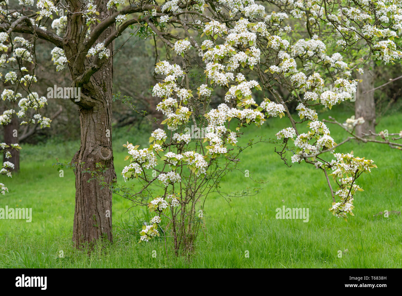 x pyrocydonia danielii tree in blossom in spring. UK. Pear Quince hybrid fruit tree. UK - Stock Image