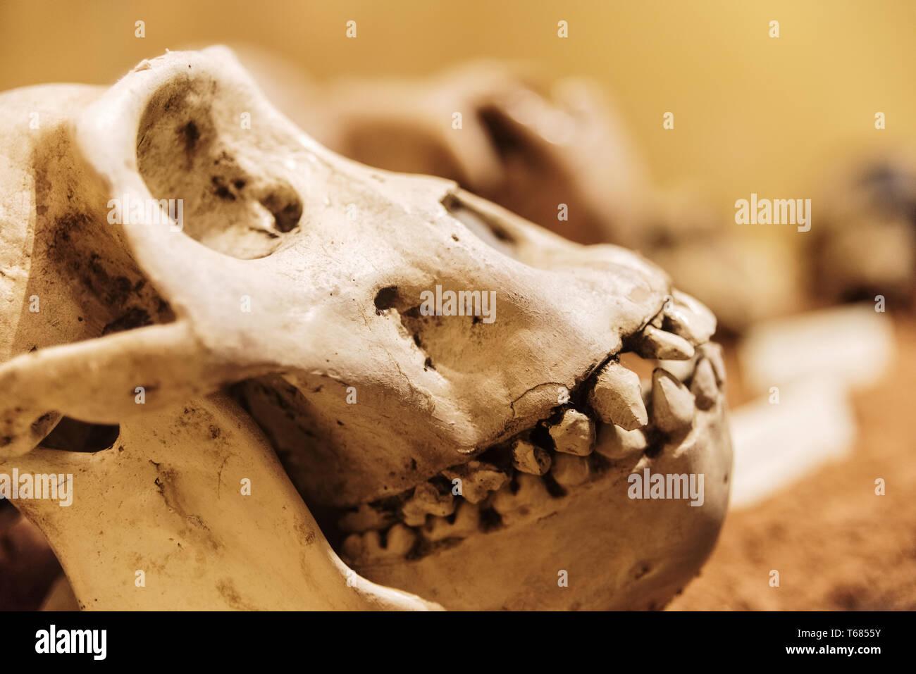 Skull of a female gorilla. Stock Photo
