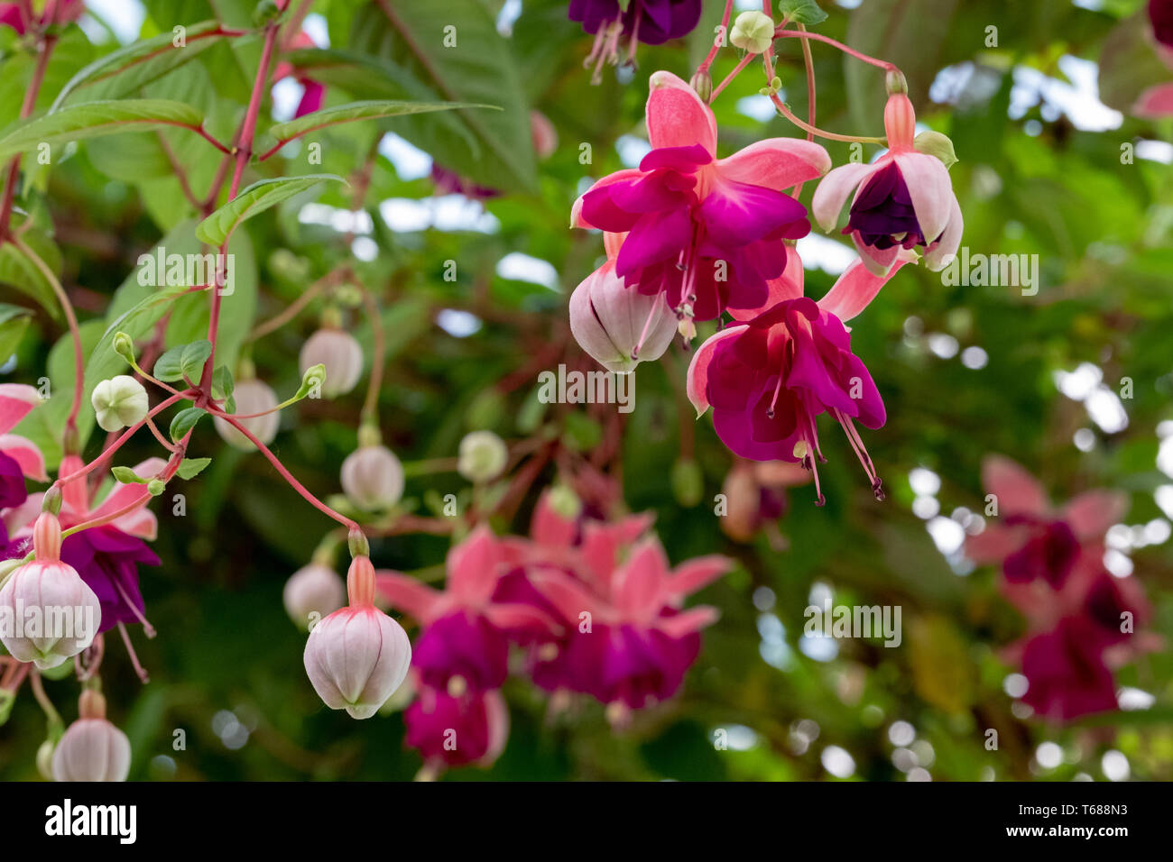 Stunning fuchsias hanging from the ceiling in the The Royal Greenhouses at Laeken. The Castle of Laeken is the residence of the King of the Belgium. - Stock Image