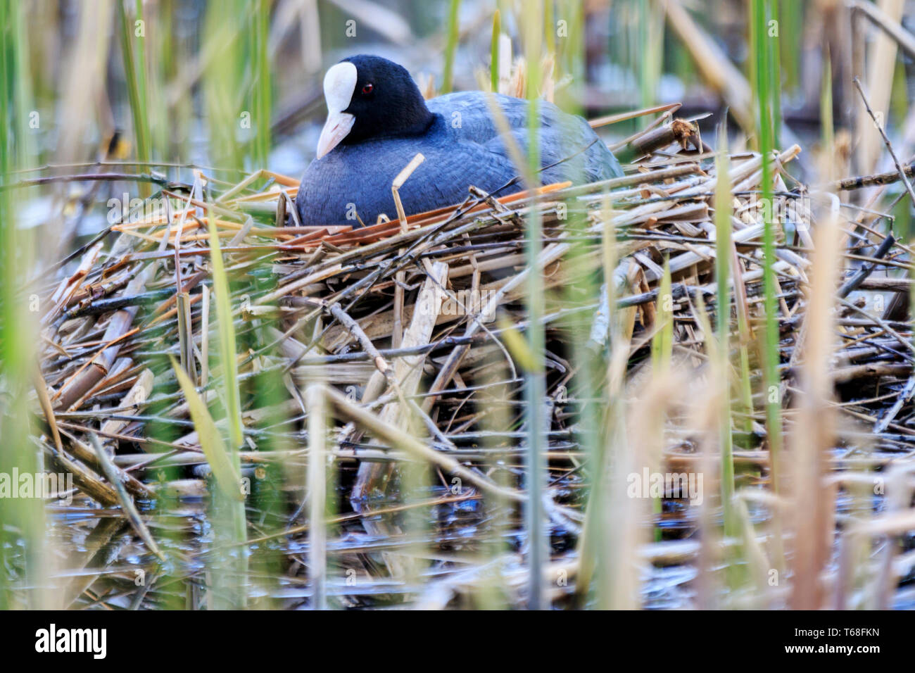 coot sitting on a nest of reeds - Stock Image