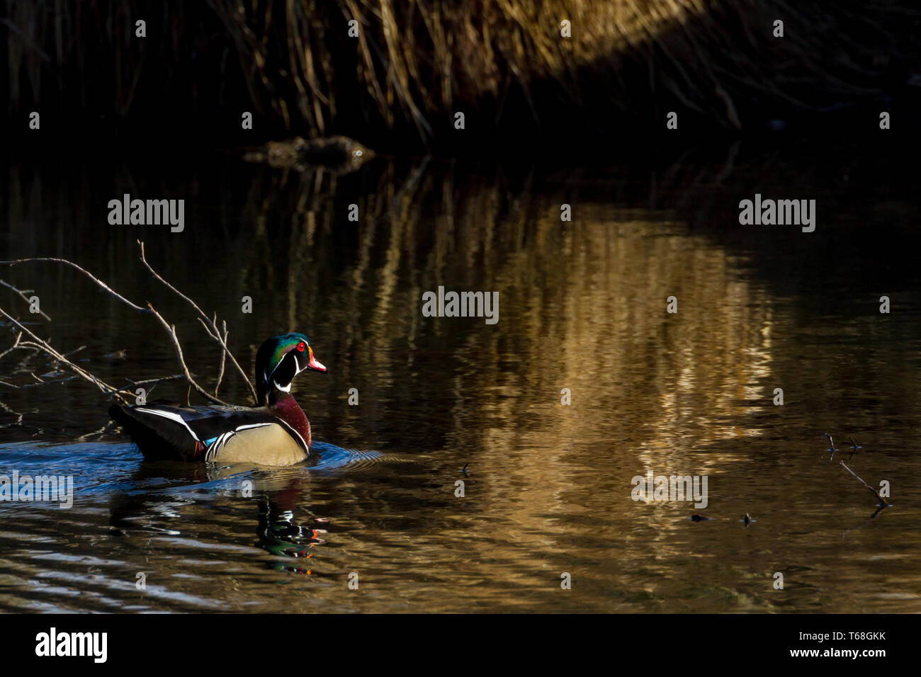 Colourful, beautiful wood duck drake floats along in water in warm, late afternoon light at Inglewood Bird Sanctuary, Calgary, Canada Stock Photo