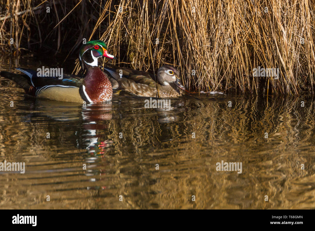 Colourful, beautiful male wood duck with female float along quietly in water at Inglewood Bird Sanctuary, Calgary, Canada Stock Photo