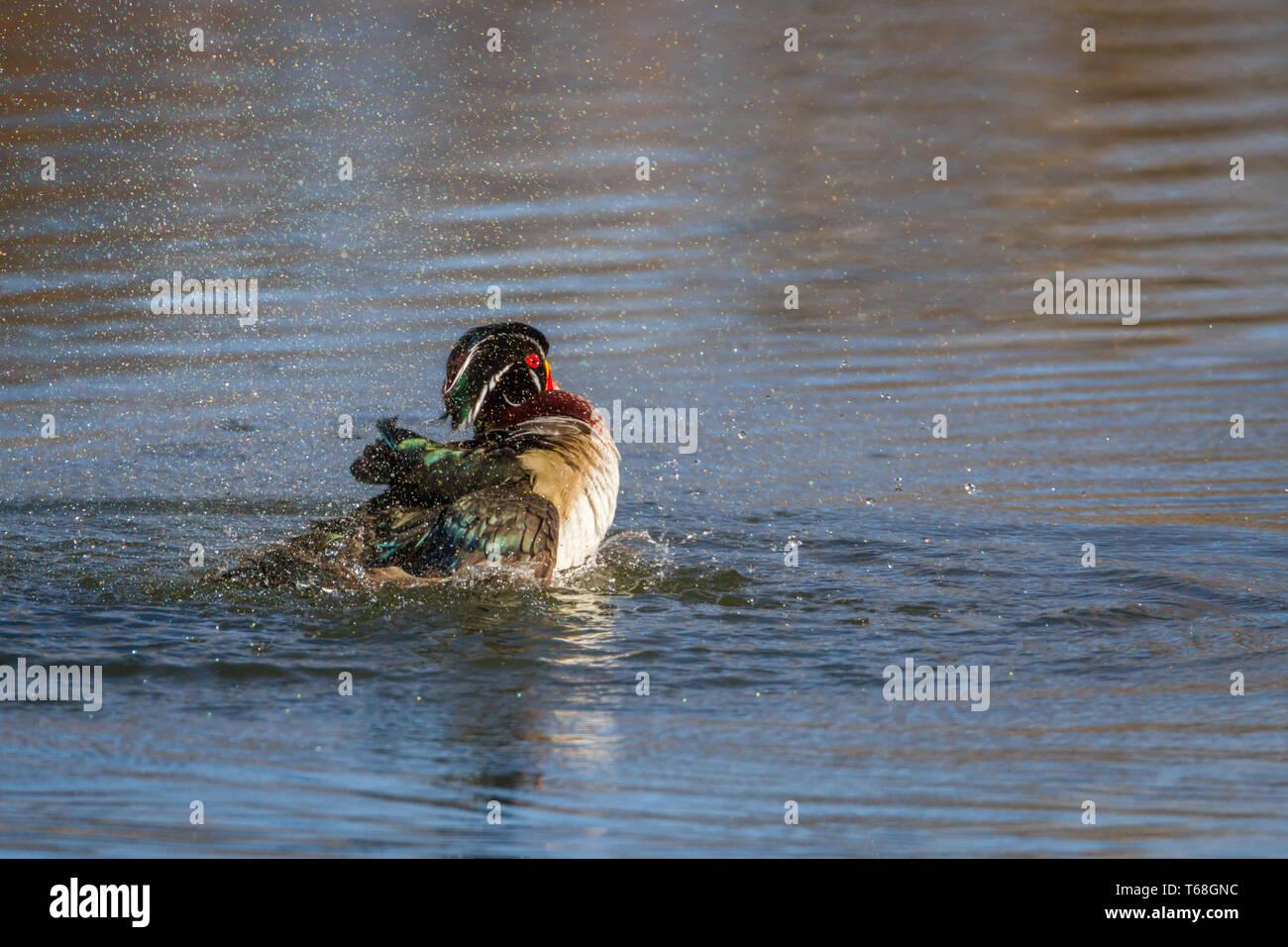 Colourful, beautiful wood duck drake splashing in water at Inglewood Bird Sanctuary, Calgary, Canada Stock Photo