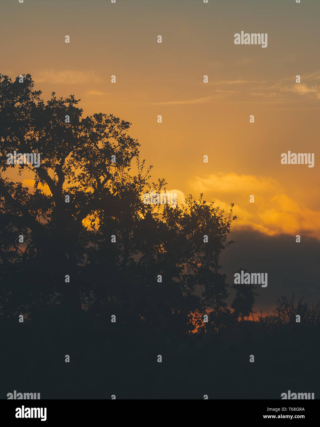 Sunset with clouds and the crown of the cork tree in silhouette - Stock Image