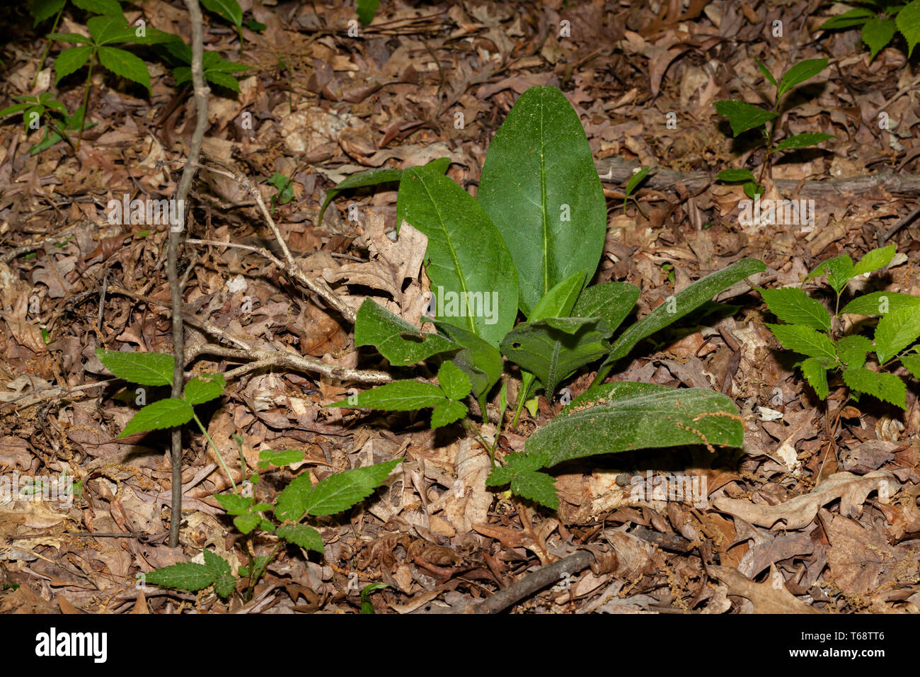 Wild Comfrey in the Land Between the Lakes - Stock Image