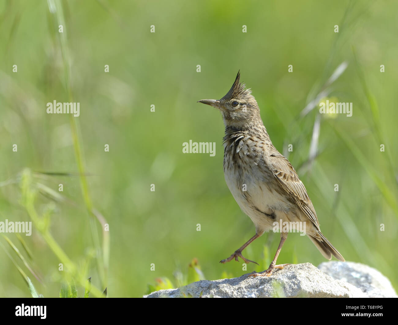 Crested Lark, Galerida cristata, Bulgaria, Europe Stock Photo