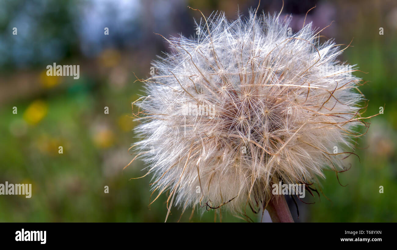 Macro photography of a very dense dandelion seed fluff captured against a dandelion field in the Andean mountains of central Colombia. - Stock Image
