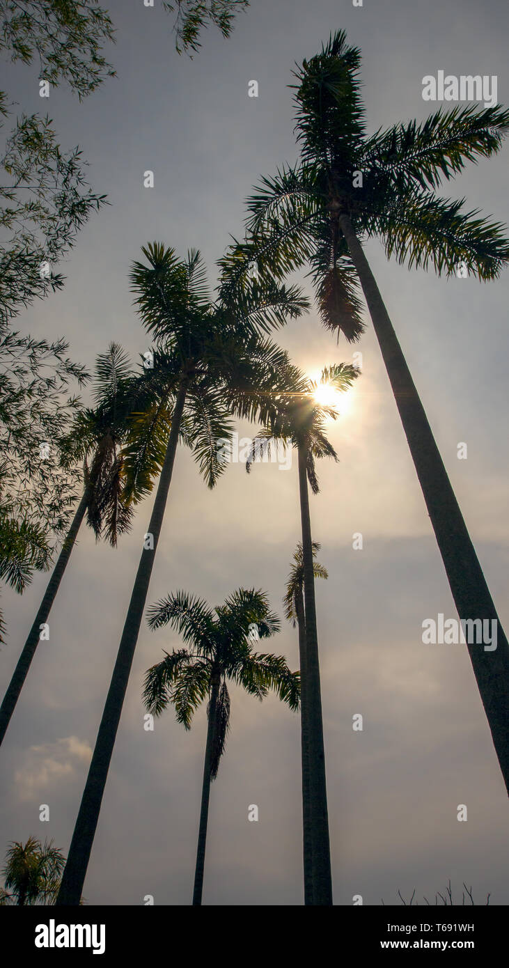 A group of palm trees with the morning sun behind. Captured at the Andean mountains of southern Colombia. Stock Photo