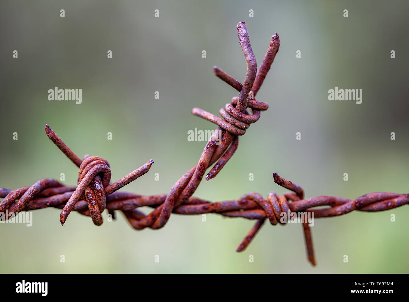 Macro photography of a piece of rusted barbed wire used in fences at the countryside of the Andean mountains of central Colombia. Stock Photo