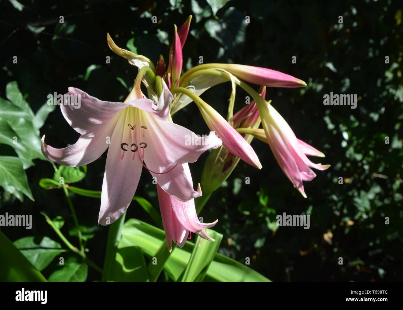 Crinum x powellii pink Crinumx powellii Rosum swamp lily Stock Photo