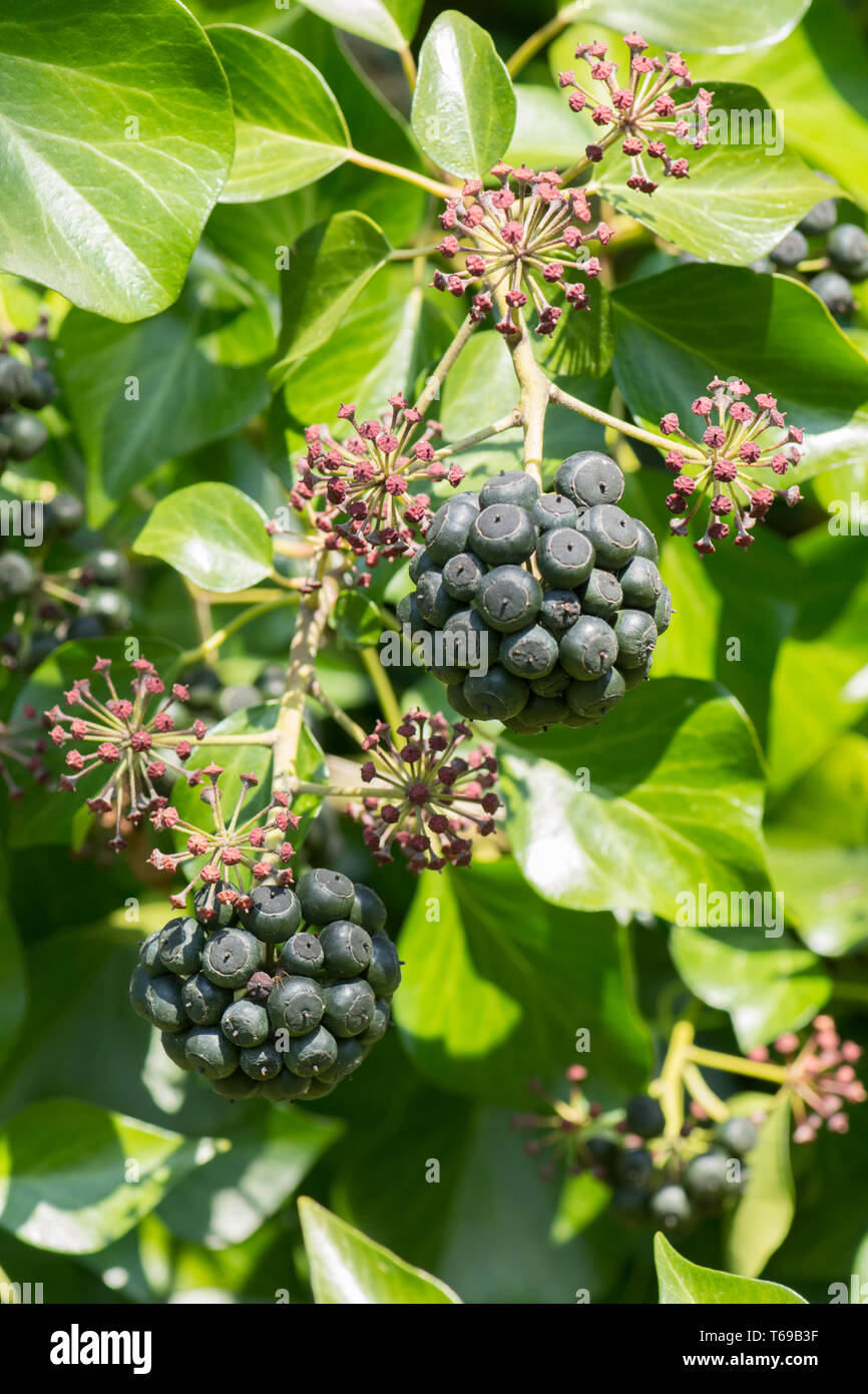 Ivy, Hedera helix, bunch of berries, fruit, April, Sussex, UK Stock Photo