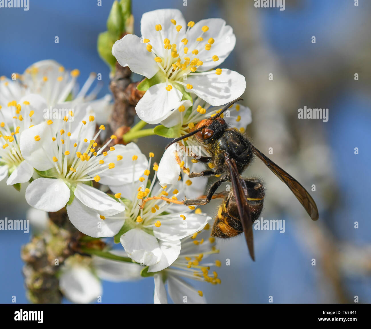 Asian wasp feeding on the flowers of a plum - Stock Image