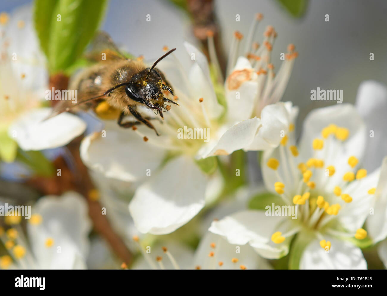 close-up of the mouthpiece of a lonely bee on a plum blossom - Stock Image