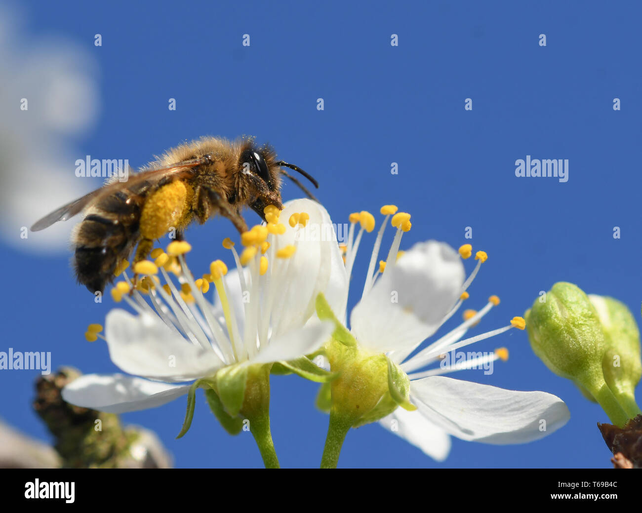 close-up of a lonely bee feeding on the flower of a plum tree - Stock Image