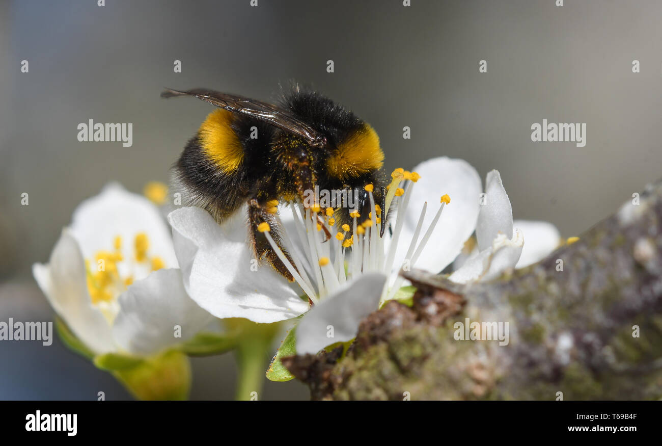 close-up of a bumblebee feeding on the flower of a plum tree - Stock Image