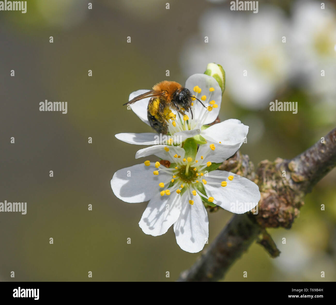 lonely bee feeding on the flower of a plum - Stock Image