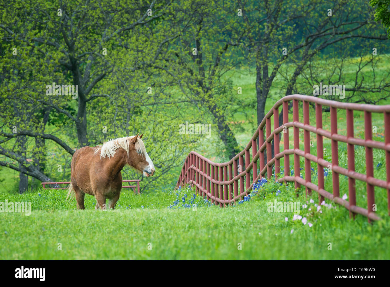 Belgian Draft Horse grazing by a fence on green Texas bluebonnet and wildflower pasture in the spring. Stock Photo