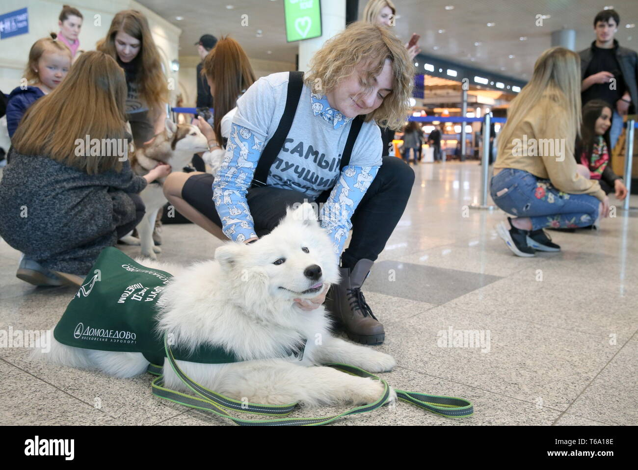 Russia. 30th Apr, 2019. MOSCOW REGION, RUSSIA - APRIL 30, 2019: A passenger hug a Samoyed dog to overcome the fear of flying during a campaign at Moscow's Domodedovo International Airport. Vladimir Gerdo/TASS Credit: ITAR-TASS News Agency/Alamy Live News - Stock Image