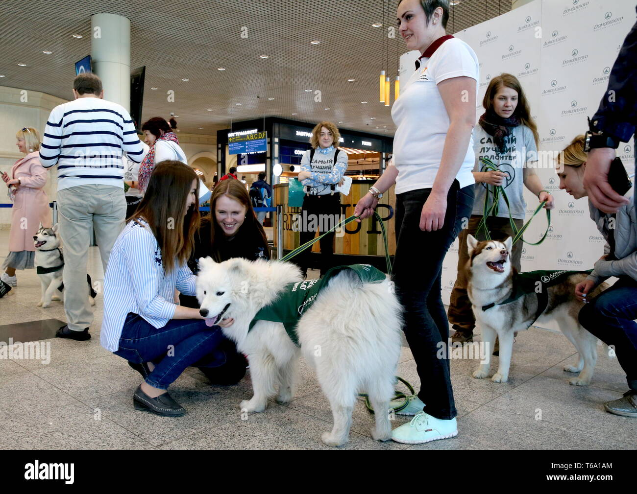 Russia. 30th Apr, 2019. MOSCOW REGION, RUSSIA - APRIL 30, 2019: A passenger strokes a Samoyed dog to overcome the fear of flying during a campaign at Moscow's Domodedovo International Airport. Vladimir Gerdo/TASS Credit: ITAR-TASS News Agency/Alamy Live News - Stock Image