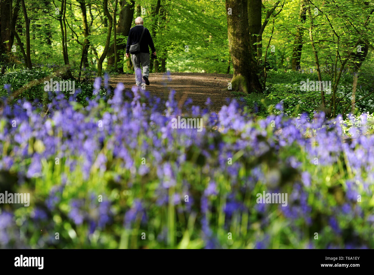 Spring Wood, near Whalley, Lancashire, UK. 30th April, 2019. A glorious display of Bluebells and Wild Garlic for walkers and photographers alike in Spring Wood, near Whalley, Lancashire. The fine weather is set to end as a cold spell marks the start of the new month tomorrow. Picture by Credit: Paul Heyes/Alamy Live News - Stock Image