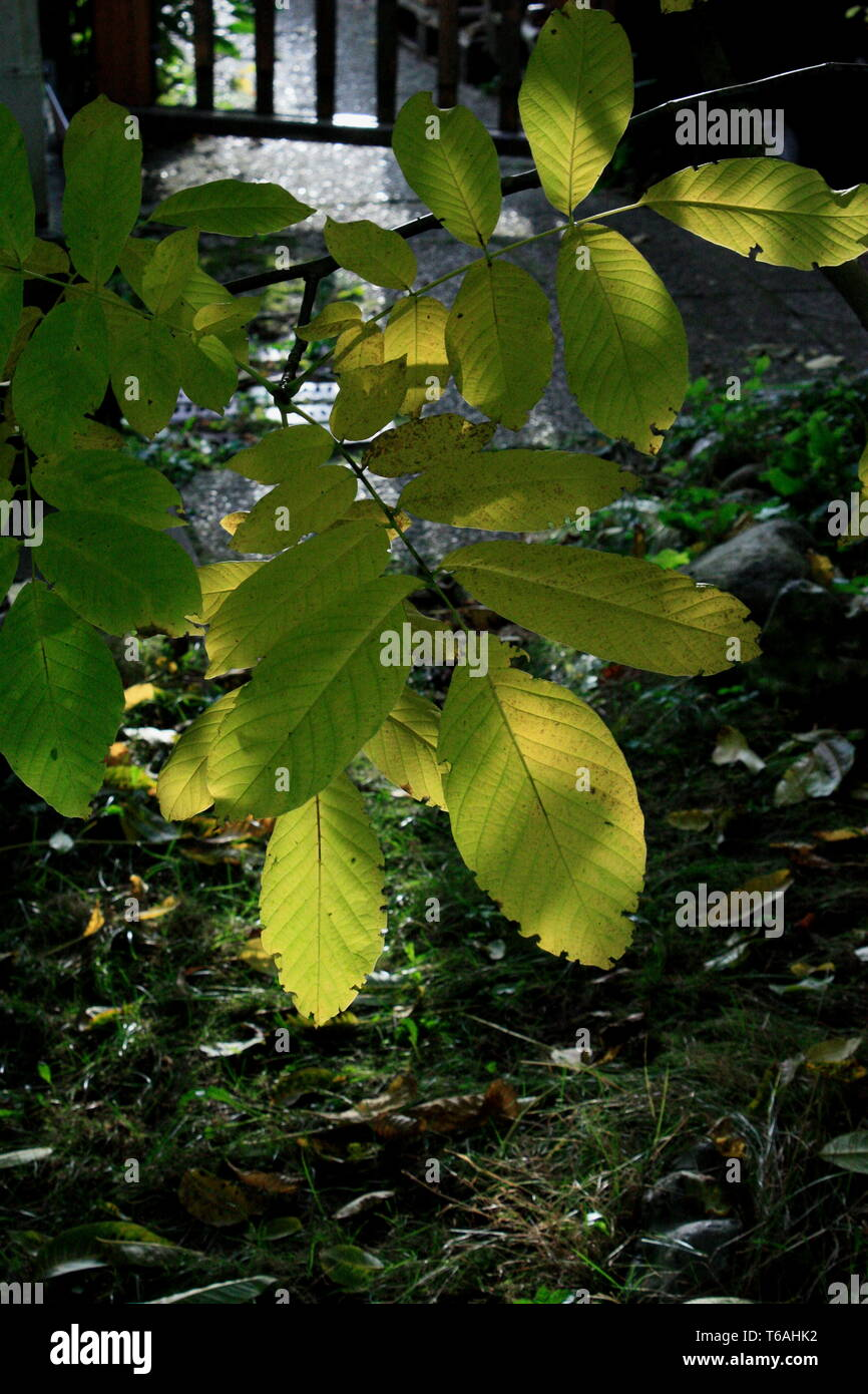 Autumn leaves in advance - Stock Image