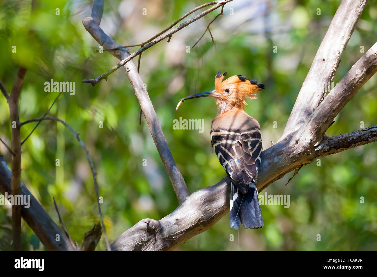 Endemic bird Madagascan hoopoe Madagascar - Stock Image