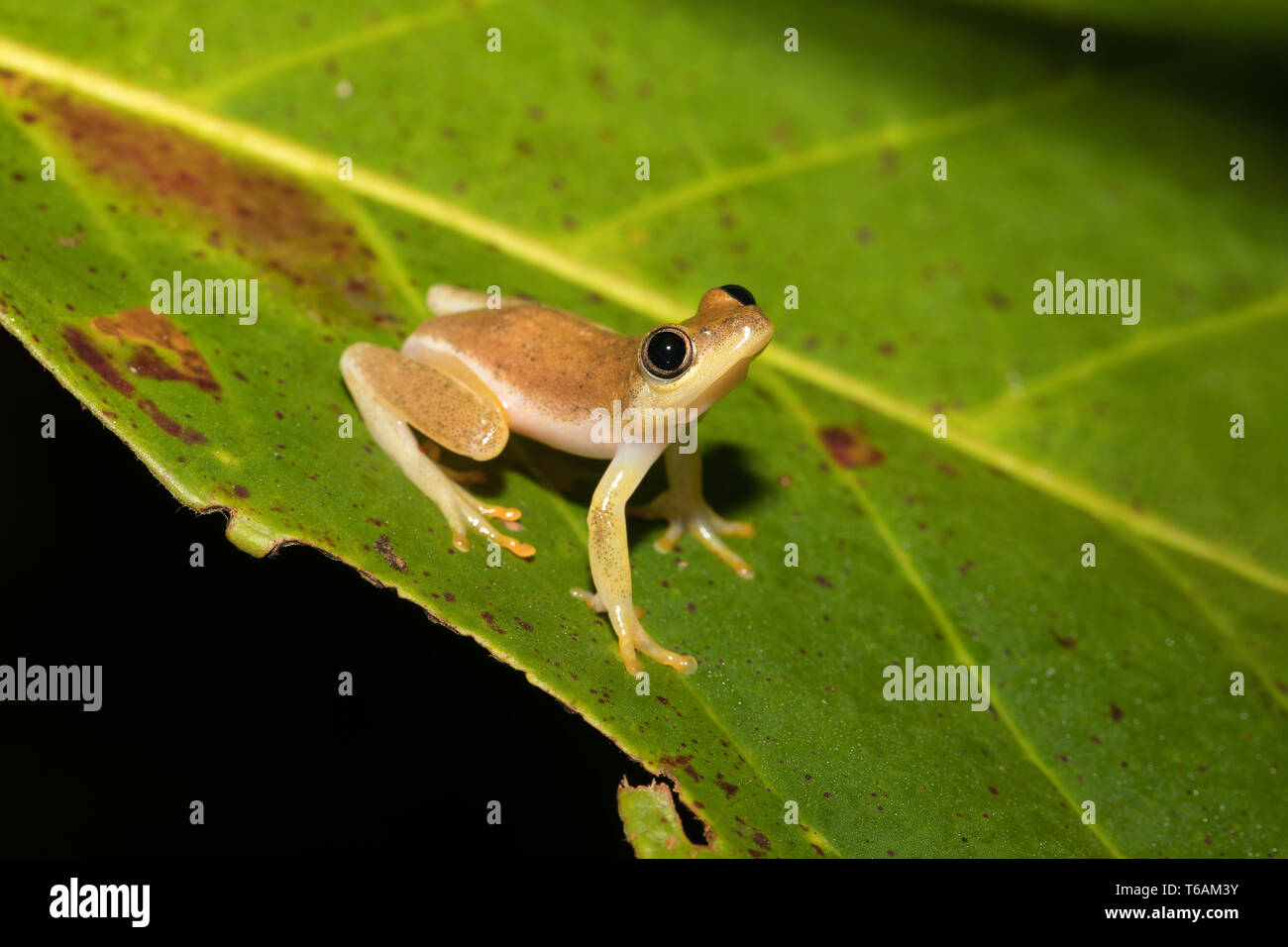 Small yellow tree frog from boophis family, madagascar Stock Photo