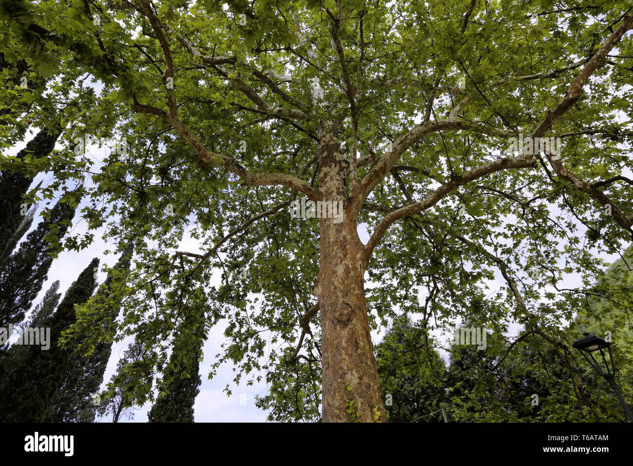 Extraordinary picturesque tree - Stock Image