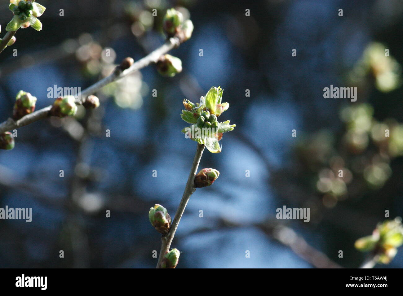 Fruit tree branch with swelling, Floating eden buds - Stock Image