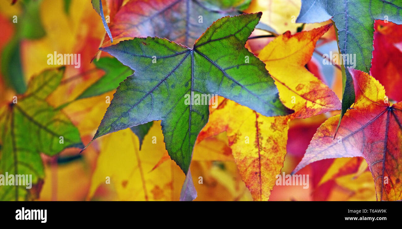 Satin Walnut, Sweet Gum, Red Gum (liquidamber styraciflua), autumn leaves - Stock Image