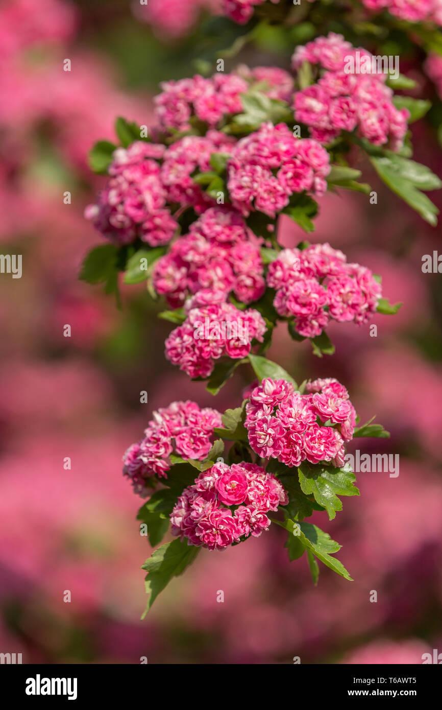 Flowers pink hawthorn. Tree pink hawthorn - Stock Image