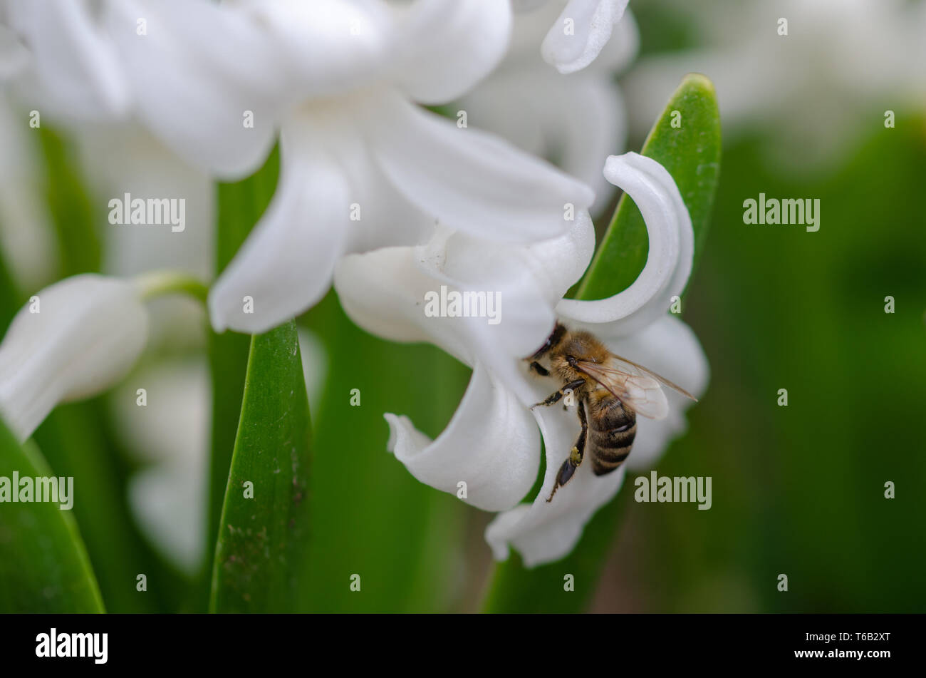 Honey bee is  collecting pollen on a white hyacinth flower. - Stock Image