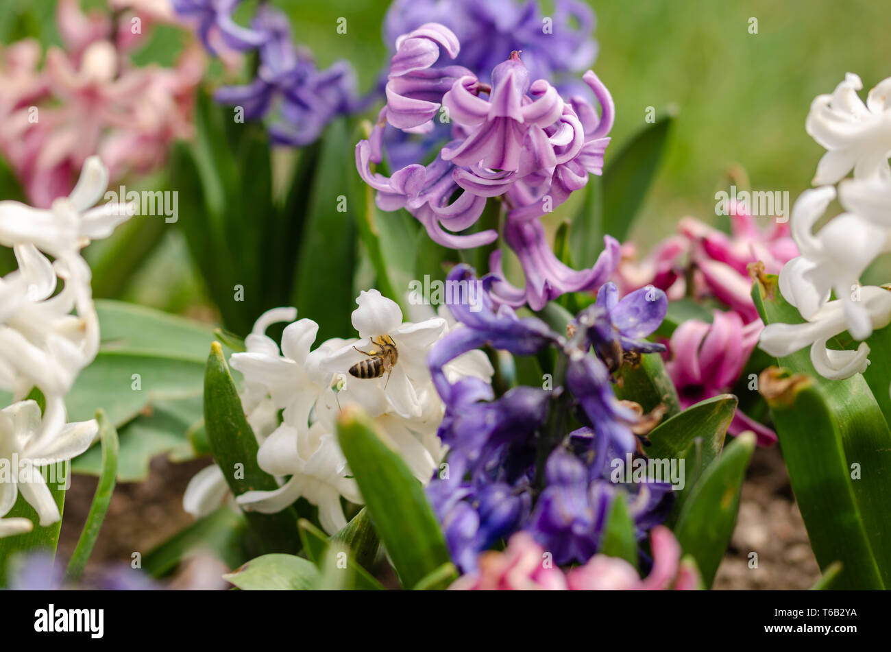 Honey bee is  collecting pollen on the hyacinth flowers. - Stock Image