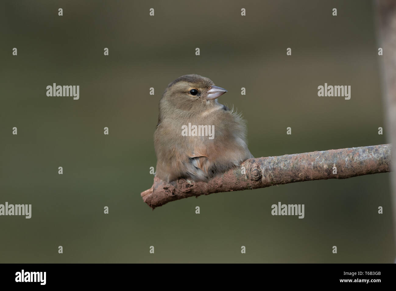 Female Chaffinch Stock Photo