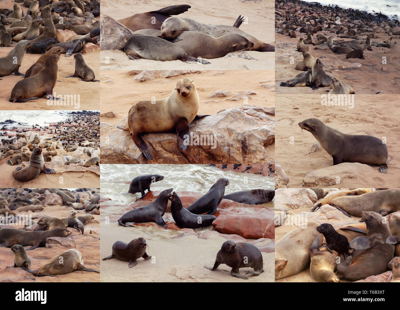 Collection of of Brown fur seal - sea lions Africa - Stock Image